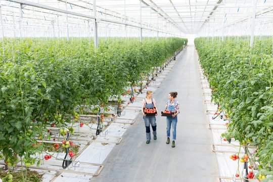 Young female farmers carrying tomatoes in crate at Greenhouse