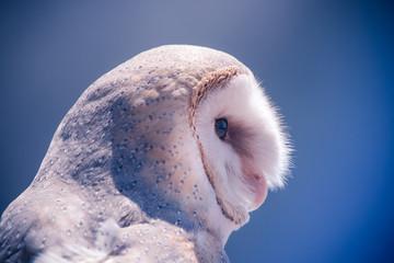 Stores à enrouleur Chouette tête de chouette blanche en gros plan vue de profil