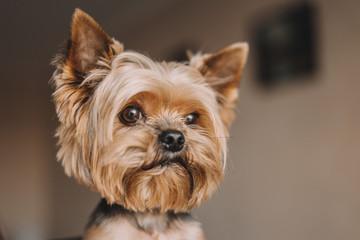Dog yorkshire terrier portrait photo