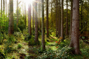 Beautiful spruce forest in autumn with bright sun shining through the trees