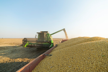 Pouring soy bean grain Wall mural