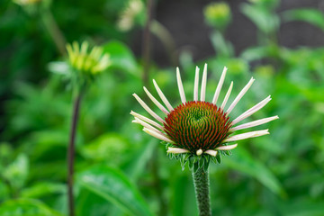 Echinacea purpurea (eastern purple coneflower), starting to bloom