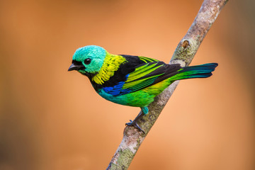 Green headed Tanager photographed in Linhares, Espirito Santo. Southeast of Brazil. Atlantic Forest Biome. Picture made in 2013.