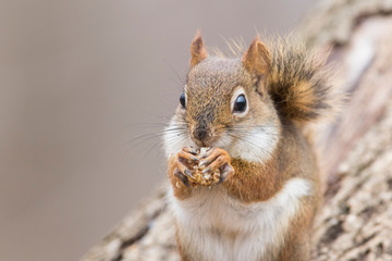 Photo sur Toile Squirrel American red squirrel in autumn