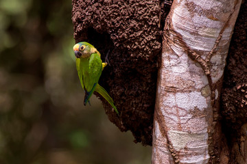 Peach fronted Parakeet photographed in Linhares, Espirito Santo. Southeast of Brazil. Atlantic Forest Biome. Picture made in 2013.