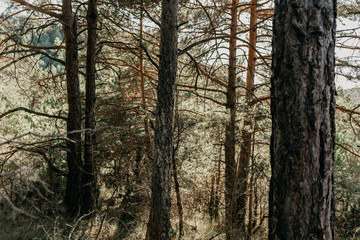 Forest in the middle of the mountain with trees, pines and different plants with green and brown colors