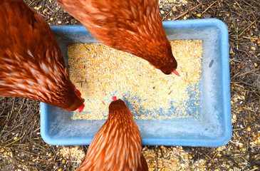 Photo sur Aluminium Poules Three hens eating corn top view