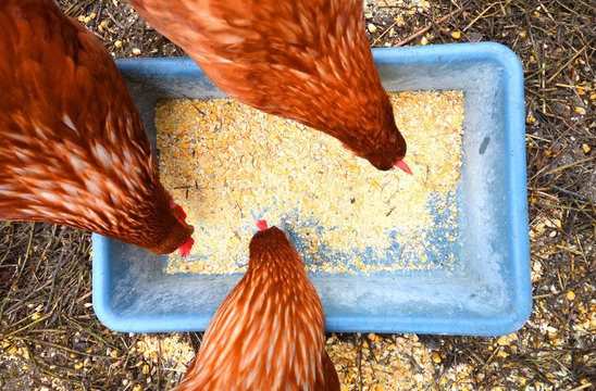 Three hens eating corn top view