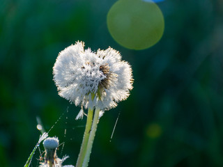 picture with dandelions in the morning dew, close-up view