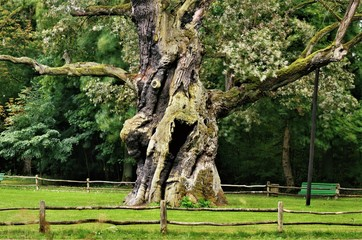 Rus - Around seven hundred years old oak tree at rogalin village palace and monumental oaks park. Poland ( protected nature )