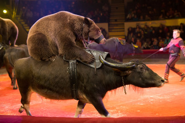 performance of brown bears buffalo in the circus arena.