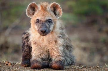 black spotted hyena