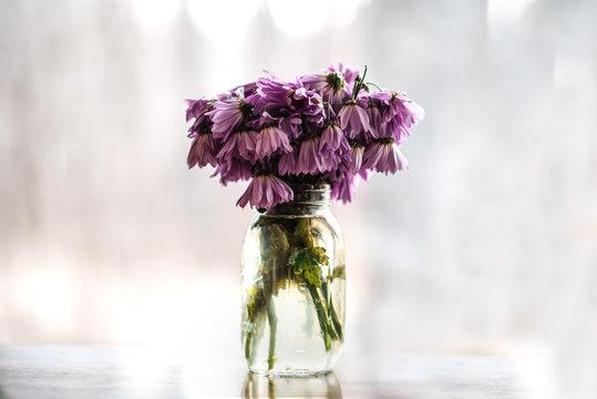 Wilting purple daisies in mason jar