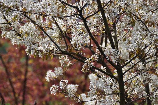 Shadbush in spring
