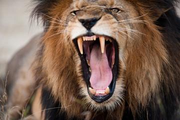 Fotobehang Leeuw Angry roaring lion