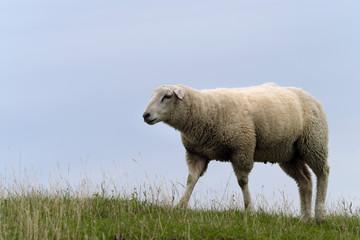 Acrylic Prints Sheep Schaf auf Deichkrone - Stockfoto