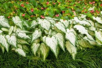 Begonias and Caladiums