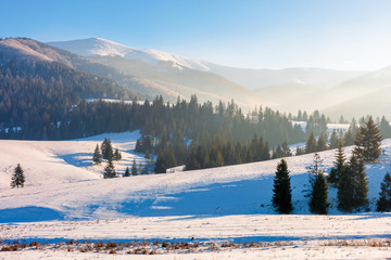 winter fairy tale in carpathian mountains. snow capped peak in the distance spruce forest on hills. sunny weather with a bit of haze in the air