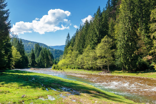 rapid mountain river in spruce forest. beautiful sunny morning in springtime. grassy river bank and rocks on the shore. waves above boulders in the water. white fluffy cloud on the blue sky