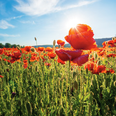 poppy field on a sunny afternoon.  close up scenery with red flowers in mountains. bright blue sky with fluffy clouds. summer countryside outdoors happy days memories concept