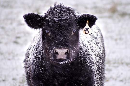 Close-Up of a Black Angus Cow Covered in Snow