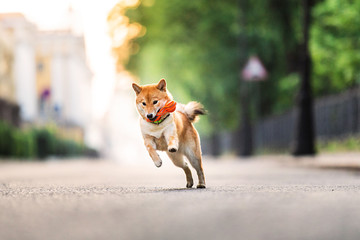 Funny dog running near park. Blurred green trees background