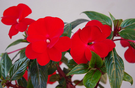 brightly red balsam decorative room flower