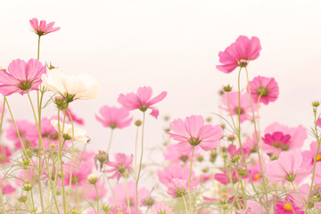Wall Mural - Beautiful pink cosmos flower blooming in the field.