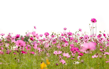 Wall Mural - Cosmos flowers are blooming on a white background.