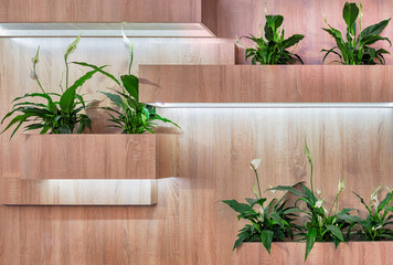 Wooden shelves in the form of boxes with built-in LED lighting for indoor plants and the blooming flowers of Spathiphyllum in it
