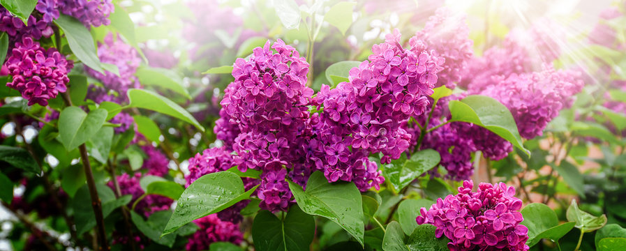 Spring branch of violet lilac blossoming. Fresh beautiful flowers tree banner or panorama.