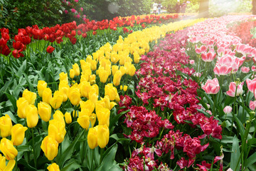 Flowers red yellow tulip banner or panorama. Flowering on background of flowers tulips in colored...