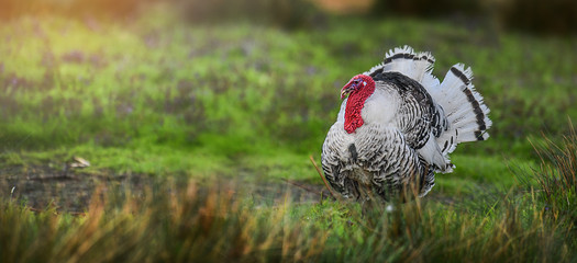 Beautiful domestic turkey bird with red head in sunny background on fresh green meadow.