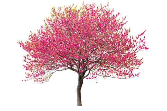 Purple cherry tree isolated on white background.