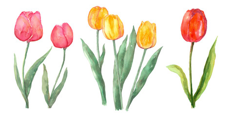 Pink red and yellow tulip set watercolor painting flower elements on isolated white background hand painted for card, wall art, clip art or your design