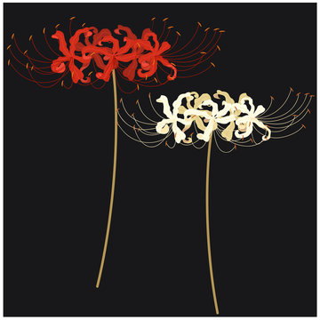 Isolated flowers spider lily, vector illustration