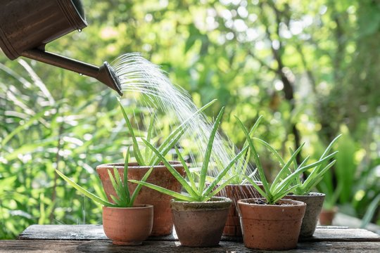 Morning outdoor activity to watering aloe vera pot plant