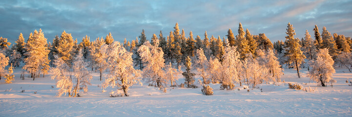 Wall Mural - Snowy panoramic landscape at sunset, frozen trees in winter in Saariselka, Lapland, Finland