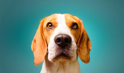 Beautiful beagle dog isolated on Turquoise background. Studio headshoot. Copy space on right