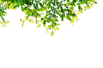 green leaves isolated white background with clipping path. nature frame for decoration design.