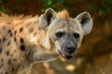 Fotobehang Hyena hyena