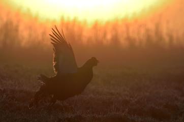 Lekking black grouse (Tetrao tetrix).  Early morning Sunrise Backlight. Springtime