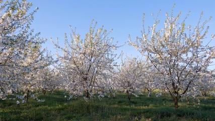 壁紙(ウォールミューラル) - Gorgeous lush cherry flowers in sunlight against blue sky.