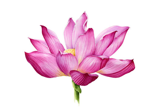 Lotus flower in a full bloom watercolor illustration. Tender pink water lilly blossom botanical image. Meditation and zen symbol lotus flower Isolated on white background.