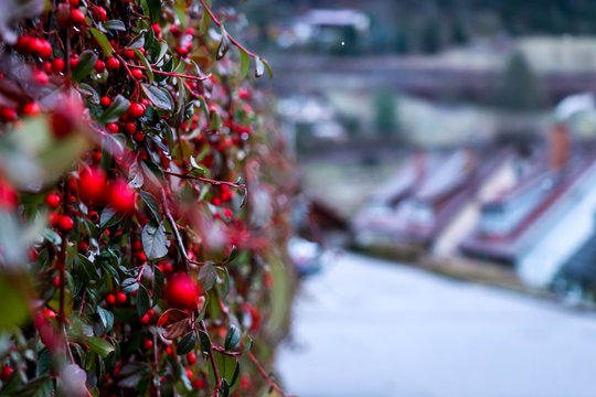 Close up view of berries growing against a wall with houses blurred in the background