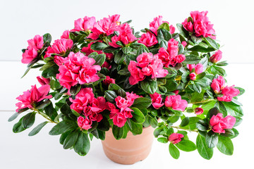 Poster Azalea Close up of pink azalea or Rhododendron plant with flowers in full bloom in a brown pot isolated on a white table, side view with space for text, for Valentine's Day or Mother's Day