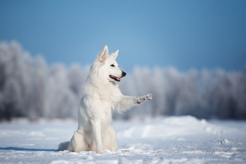 white shepherd dog outdoors in winter