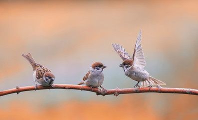 Wall Mural - pugnacious little  birds sparrows sitting on a tree branch in a Sunny clear Park and waving their wings