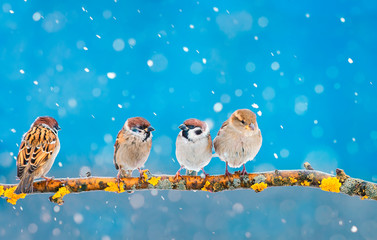 Wall Mural - group of little funny Sparrow birds sitting in a winter festive new year Park under the snowfall