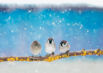 Wall Mural - three little funny Sparrow birds are sitting in the winter holiday new year Park under the snowfall